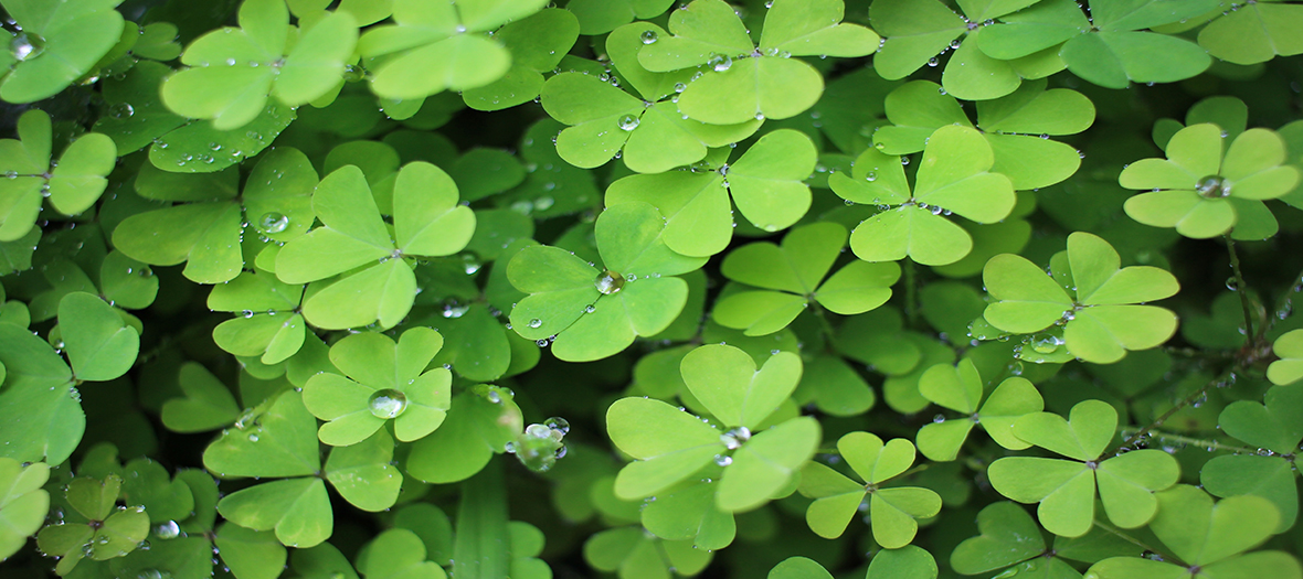 Four leaf clover field