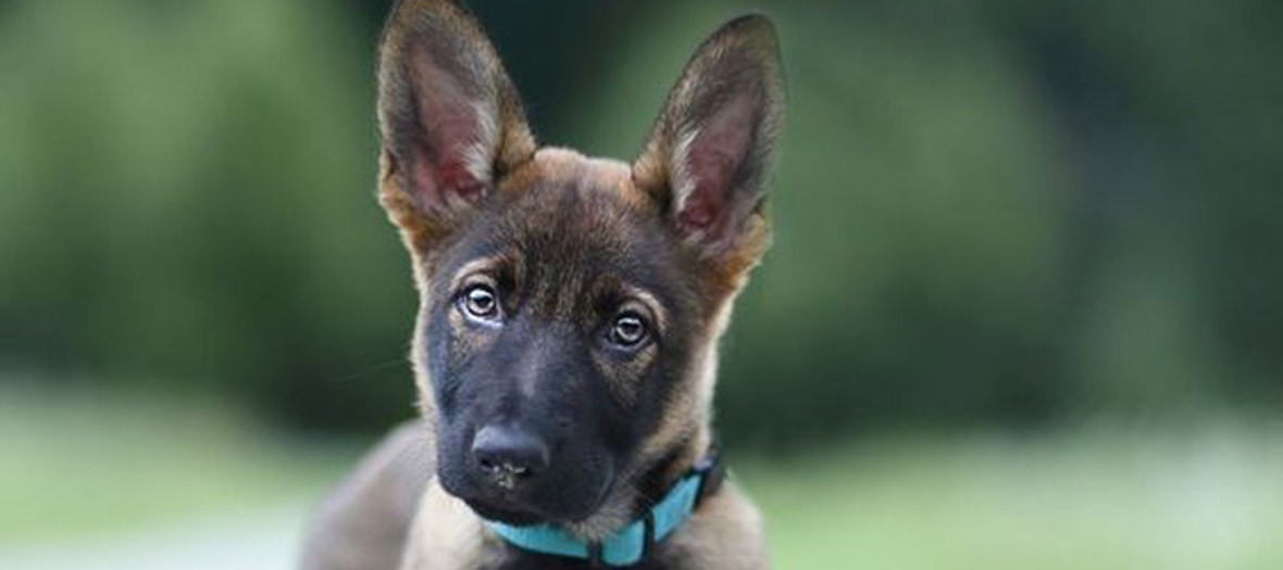 Chiot Malinois