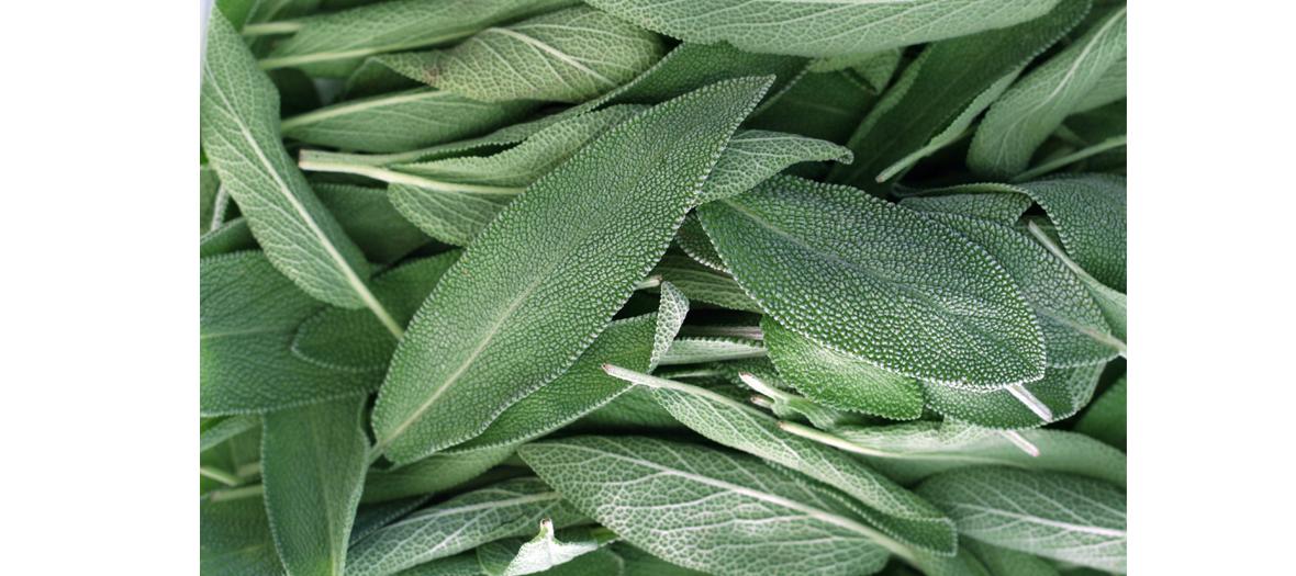 Remede naturel contre les aphtes avec des feuilles de sauge