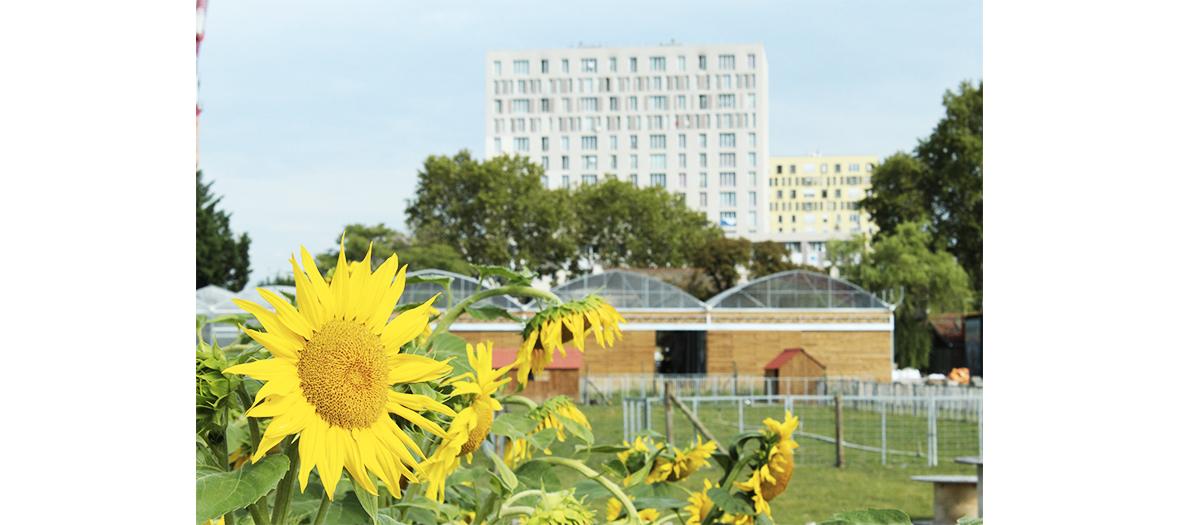 Fleure de tournesol à la ferme urbaine de Saint-Denis