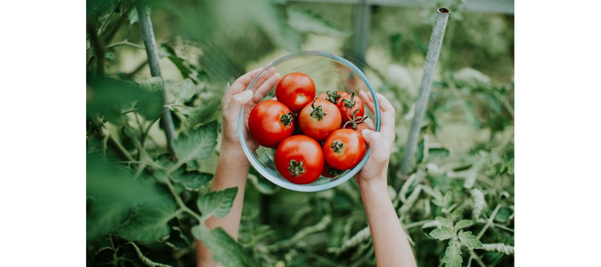 Un bol de tomates rouges cultivées sous une serre