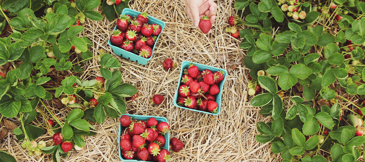 Strawberry picking in a field in Île de France