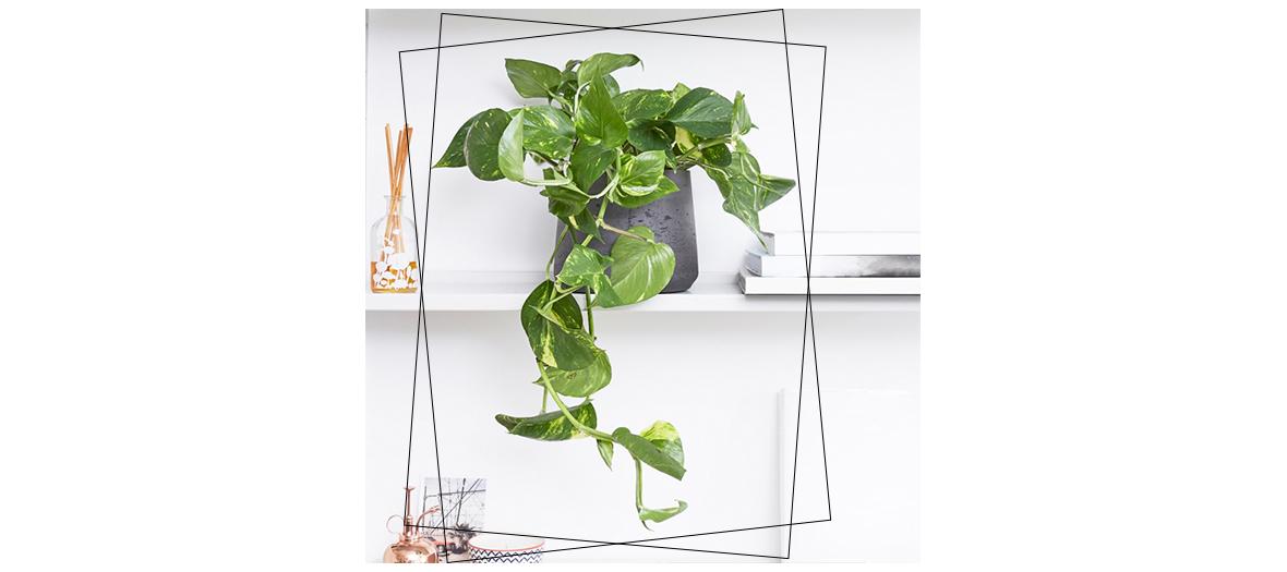 Le scindapsus fixe sur ses feuilles le monoxyde de carbone, le toluène, le benzène, l'hexane et le formaldéhyde, qu'on retrouve dans plein de produits quotidiens