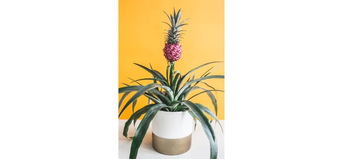 Les plantes d'ananas améliore la qualité de l'air et diminue les ronflements.