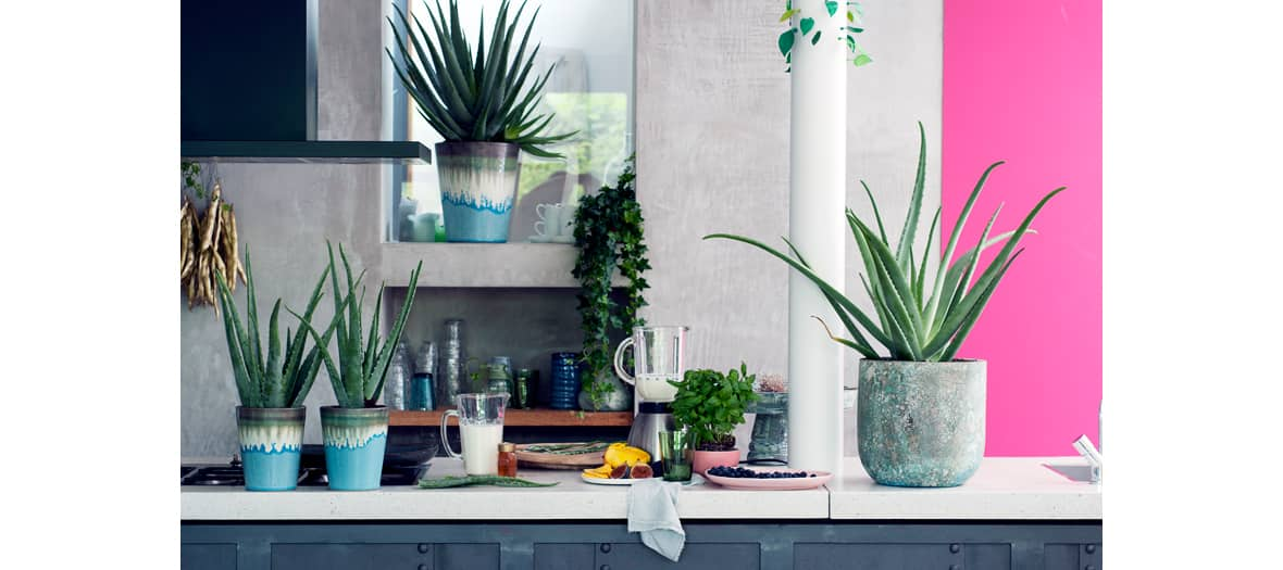 Aloe vera dans un pot en céramique et le lierre d'intérieur misère